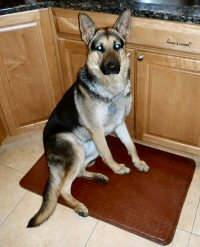 adult german shepard ready to learn