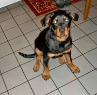 a young rottie